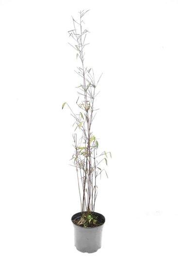 Fargesia jiuzhaigou - Gesamthöhe 40-60 cm - Topf 1 ltr
