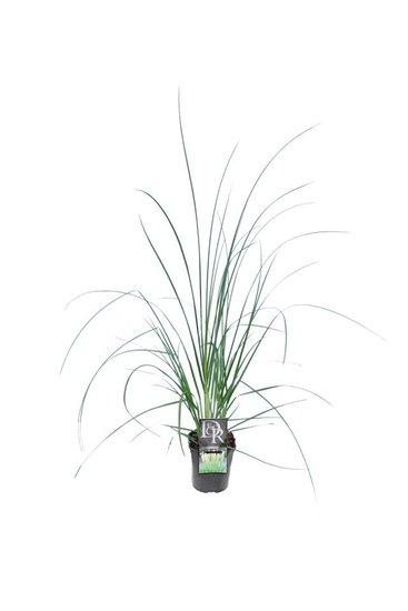 Cortaderia selloana Mini Pampas - Topf 2 ltr
