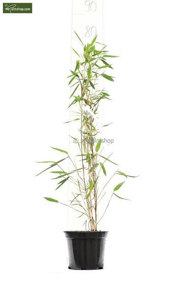 Fargesia nitida Black Pearl - Gesamthöhe 50-70 cm - Topf 1 ltr