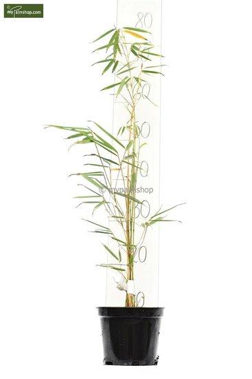 Fargesia robusta Campbell - Gesamthöhe 40-60 cm - Topf 1 ltr