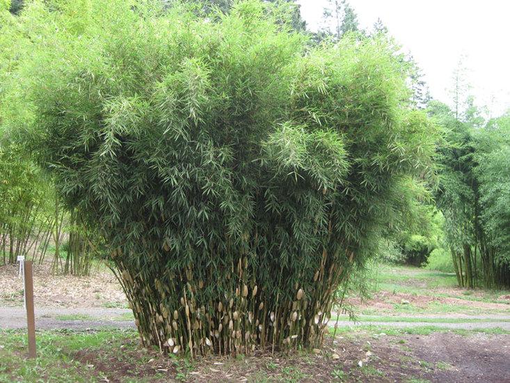 Fargesia robusta Wolong - Gesamthöhe 60+ cm - Topf 1 ltr