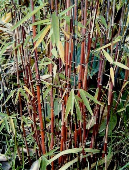 Fargesia jiuzhaigou Gesamthöhe 70-90 cm - Topf 2 ltr