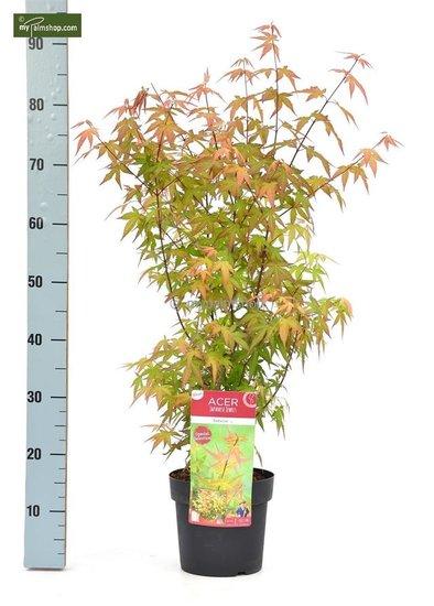 Acer Palmatum Redwine - Gesamthöhe 70-90 cm - Topf 3 ltr