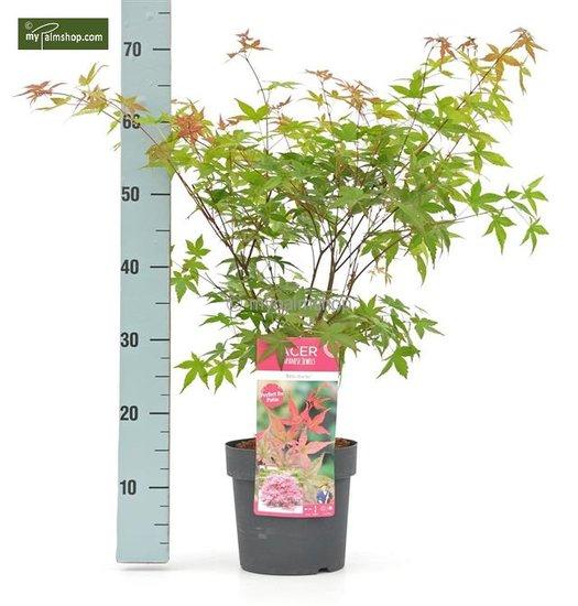 Acer palmatum Beni-maiko - Gesamthöhe 50-60 cm - Topf 3 ltr