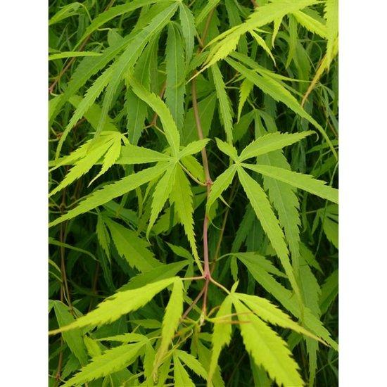Acer palmatum Koto-no-ito - Gesamthöhe 40-60 cm - Topf 3 ltr
