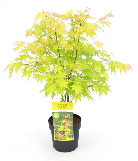 Acer Palmatum Orange Dream - Gesamthöhe 60-80 cm - Topf 3 ltr