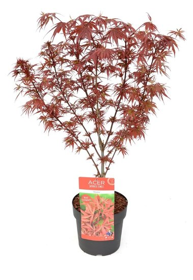 Acer Palmatum Shaina - Gesamthöhe 60-80 cm - Topf 3 ltr
