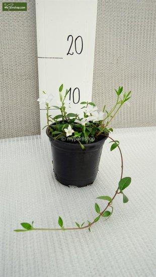 Vinca minor Alba - Topf Ø 11 cm
