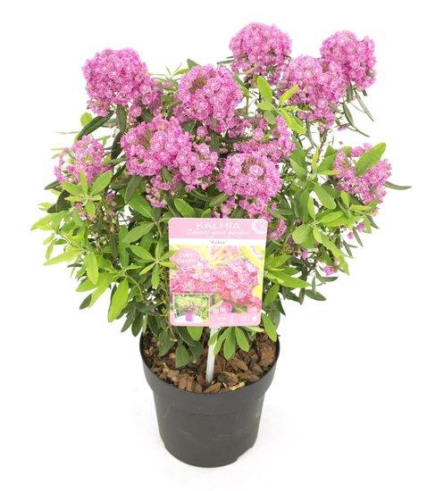 Kalmia angustifolia Rubra - Gesamthöhe 30+ cm - Topf  Ø 15