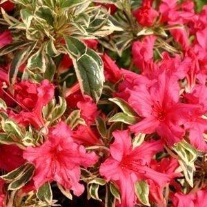 Rhododendron Bollywood - Gesamthöhe 40-60 cm - Topf 3 ltr