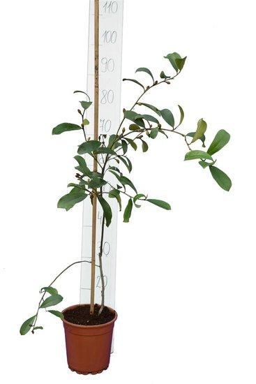 Michelia yunnanensis Topf Ø 17 cm Gesamthöhe 90-110 cm