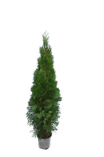 Thuja occidentalis Smaragd (TOPFWARE) - Gesamthöhe 100-120 cm - Topf 7.5 ltr