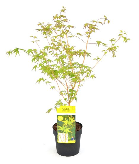 Acer palmatum Bi hoo - Gesamthöhe 60-80 cm - Topf 3 ltr