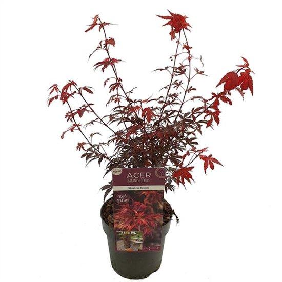 Acer palmatum Skeeters broom - Gesamthöhe 60-80 - Topf 3 ltr