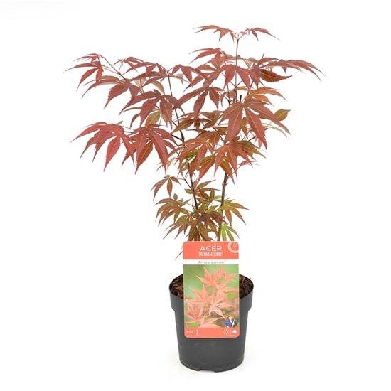 Acer Palmatum Atropurpureum - Gesamthöhe 60-80 cm - Topf 3 ltr