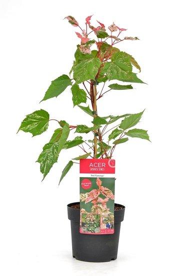 Acer conspicuum Red Flamingo - Gesamthöhe 40-50 cm - Topf 3 ltr