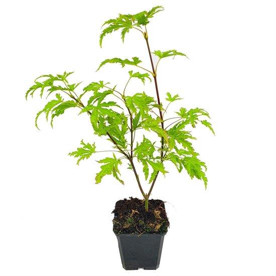 Acer palmatum Anne Irene - Gesamthöhe 40-50 cm - Topf 3 ltr