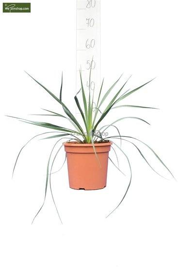 Yucca rostrata - Gesamthöhe 40-60 cm - Topf Ø 20 cm