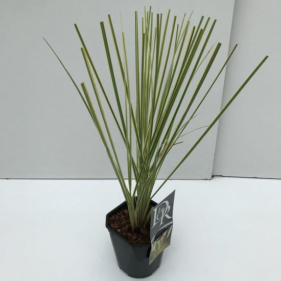 Cortaderia selloana Gold Mini Pampas - Gesamthöhe 50-60 cm - Topf 2 ltr