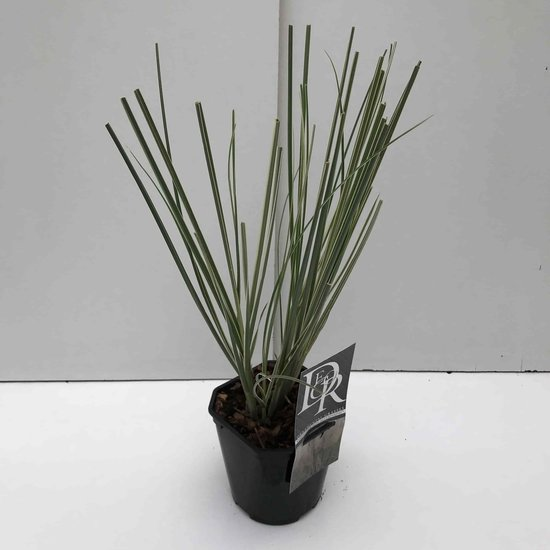 Cortaderia selloana Mini Silverpampas - Gesamthöhe 40-50 cm - Topf 2 ltr