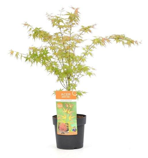 Acer palmatum Wilson's Pink Dwarf - Gesamthöhe 50-70 cm - Topf 3 ltr