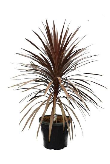 Cordyline australis Red Star - Gesamthöhe 130-150 cm - pot Ø 42 cm [Palette]