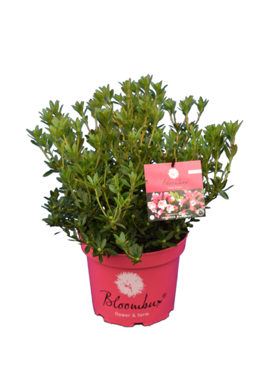 Bloombux magenta - Rhododendron micranthum Microhirs - Topf 5 ltr