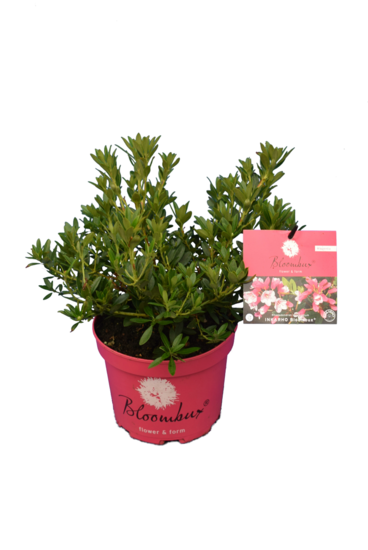 Bloombux magenta - Rhododendron micranthum Microhirs - Topf 2 ltr