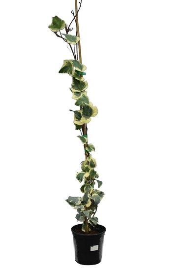 Hedera minor variegata - Topf Ø 18 cm - 3 ltr