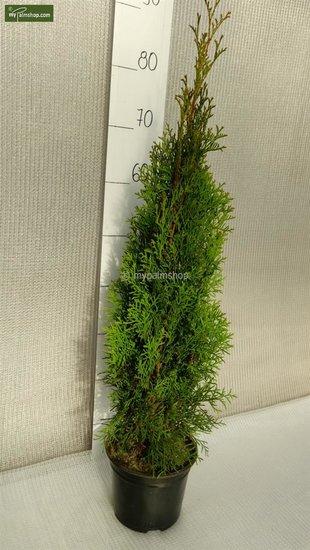 Thuja occidentalis Smaragd (Topfware) - 2 Ltr Topf - 70-90 cm