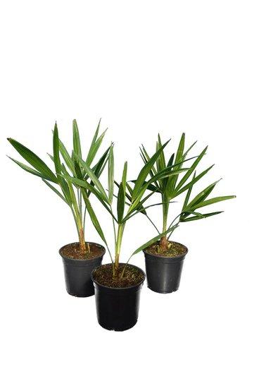 Trachycarpus fortunei - set aus 3 - Gesamthöhe 50-70 cm - Topf Ø 15 cm