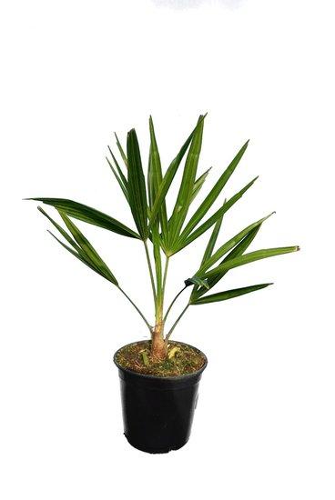 Trachycarpus fortunei - Gesamthöhe 50-70 cm - Topf Ø 15 cm