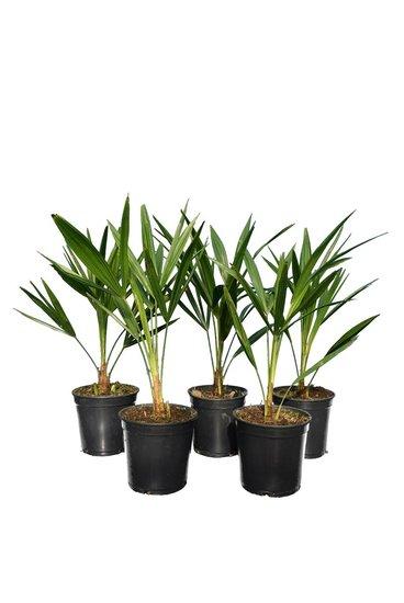 Trachycarpus fortunei - set aus 5 - Gesamthöhe 50-70 cm - Topf Ø 15 cm