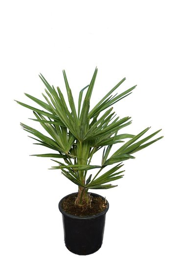 Trachycarpus fortunei - Stamm 15+ cm - Gesamthöhe 70-90 cm - Topf Ø 20 cm