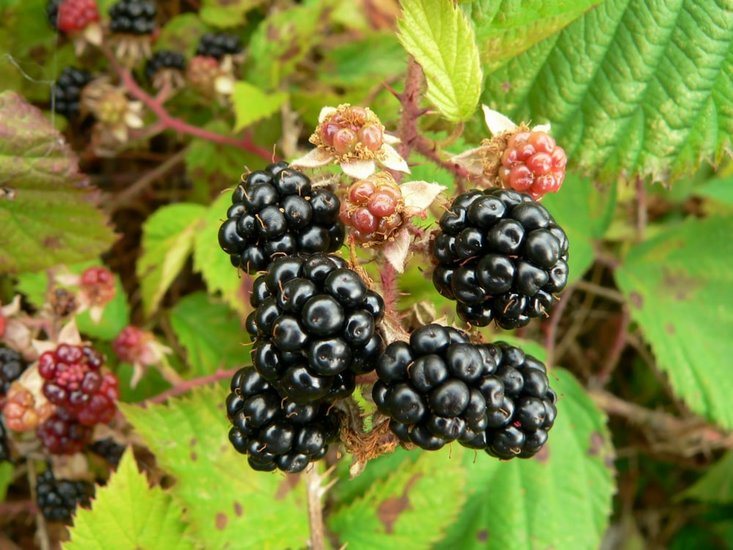 Rubus fruticosus sp. Black Satin 2 ltr Topf