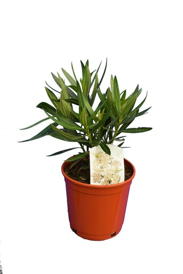 Nerium oleander Weiß - Gesamthöhe  50-60 cm - Topf Ø 18 cm