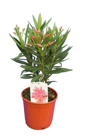 Nerium oleander Rosa - Gesamthöhe  50-60 cm - Topf Ø 18 cm
