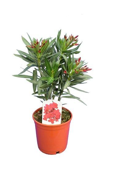 Nerium oleander Pink - Gesamthöhe  50-60 cm - Topf Ø 18 cm