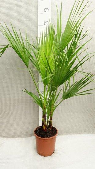 Washingtonia robusta Multistamm - Gesamthöhe 80-100 cm - Topf Ø 22cm