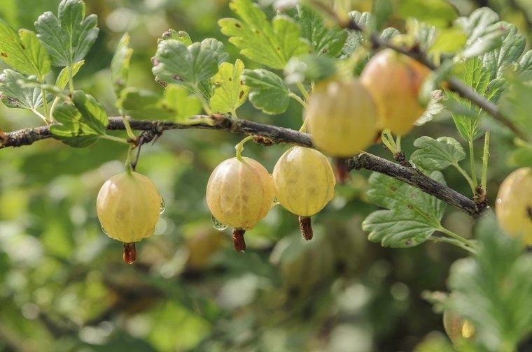 Ribes uva-crispa 'Tatjana' 2 Ltr Topf