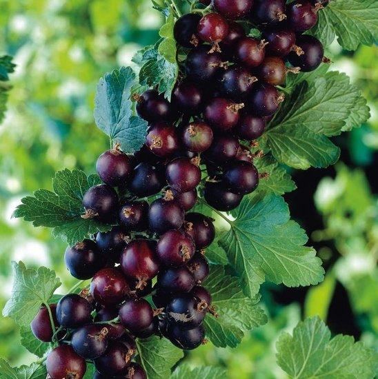 Ribes nidigrolaria Josta - topf 2 ltr