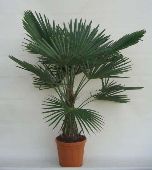 Trachycarpus fortunei -  Stamm 30-40 cm - Gesamthöhe 140-160 cm - Topf Ø 31 cm