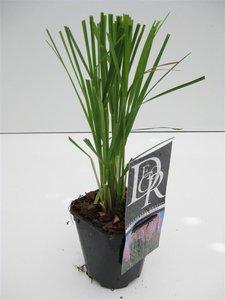 Cortaderia selloana Rosea 1 ltr
