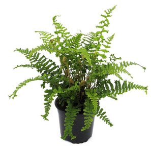 Dryopteris affinis cristata The King 0.7 Ltr Topf