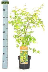 Acer palmatum Katsura 3 ltr
