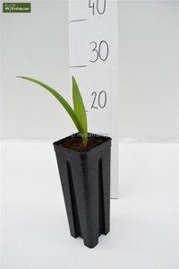 Trachycarpus sp. Nova Topf: 0.7ltr.