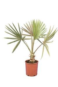 Bismarckia nobilis gesamthöhe 100-120 cm