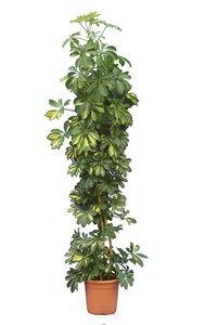 Schefflera arboricola Gold Capella TopfØ 26 cm