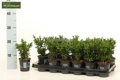Buxus sempervirens Heckenbuchs 0,5 Ltr. Topf