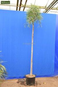 Acacia dealbata Gesamthöhe 200+ cm [Palette]
